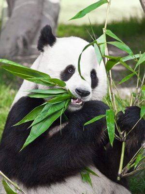 Panda from Panda Press, Stone.